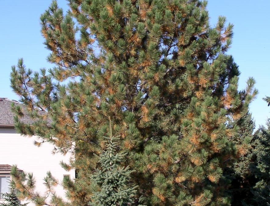 Why is my Pine Tree Losing its Needles?