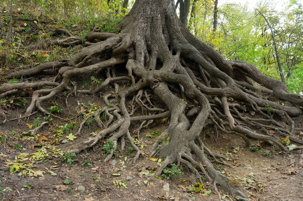 Do tree roots grow after the tree is cut?